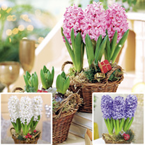 Hyacinth Bulbs - Blue