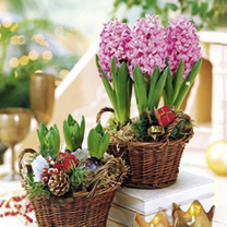 Hyacinth Bulbs - Pink