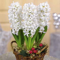 Hyacinth Bulbs - White