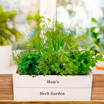 Herb Plant Collection with Crate + FREE Herb Scissors