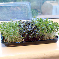 Microherbs 3 for £6 offer