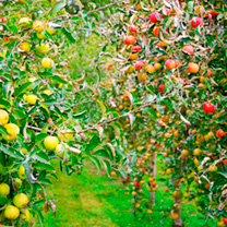 Apple Tree (Potted) - Lucky Dip