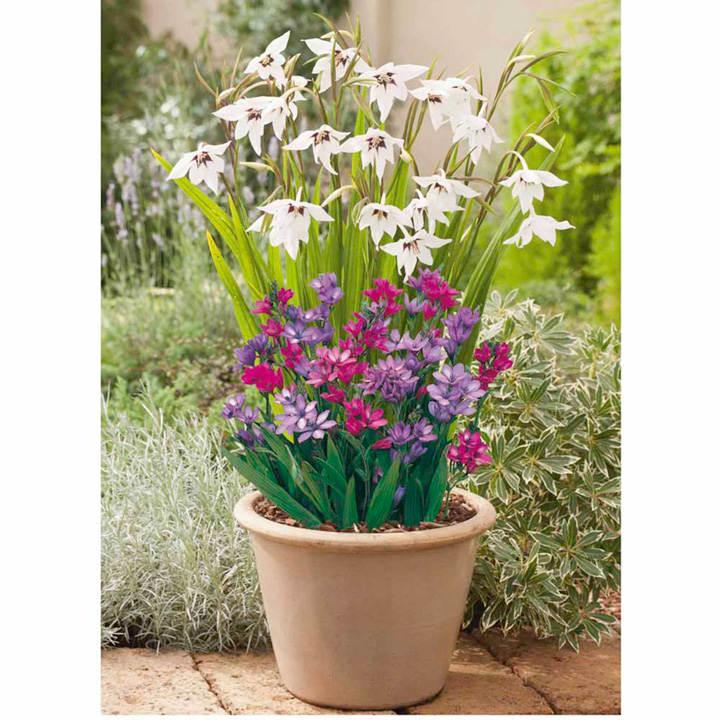 Plant o mat classic acidanthera babiana all flower bulbs flower bulbs flowers garden - Best compost for flower pots solutions within reach ...