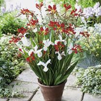 Plant-o-Mat Classic - Crocosmia/Iris