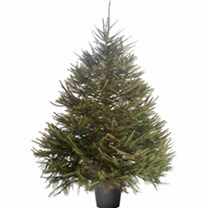 Christmas Tree - Norway Spruce