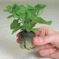 Geranium Plants - Tomcat