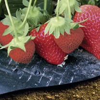 Strawberry Mulch Film - PICK & MIX