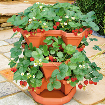 Strawberry Stack a Tub Containers