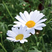 Marguerite Plant - Mini Standard White