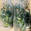 Tomato Growth Cover - PICK and MIX