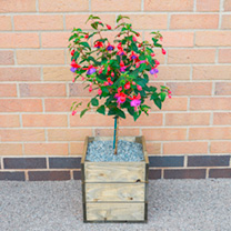 Crate Kit - Fuchsia Standard Plant, Square Crate LUCKY DIP
