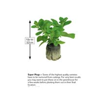 Pepper Grafted (Sweet) Plants - Red King