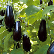Aubergine Grafted Plants - F1 Scorpio