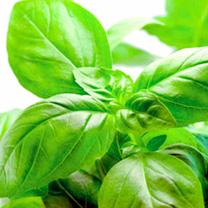 Herb Plant - Sweet Basil
