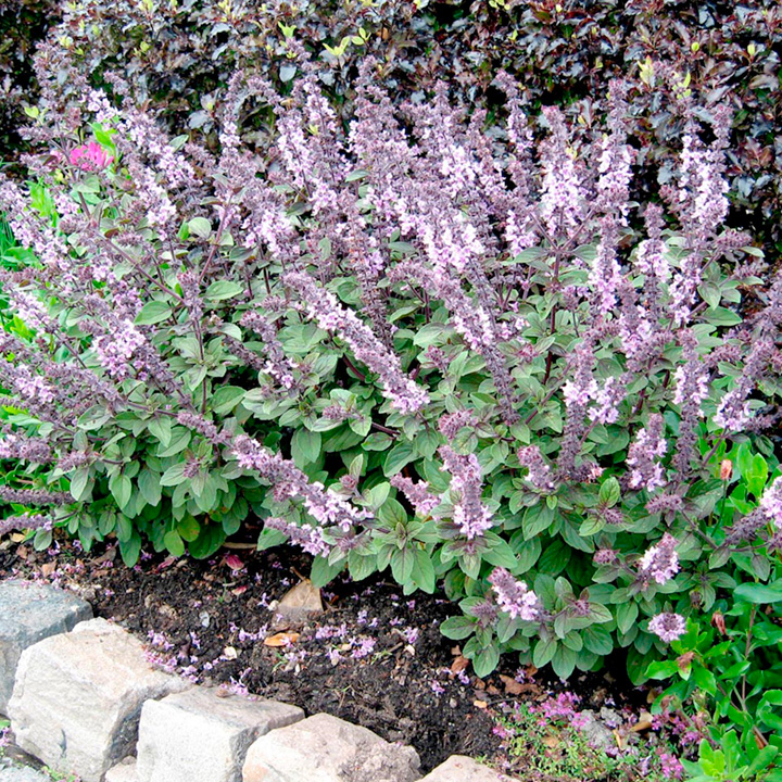 Herb Plant - Basil African Blue