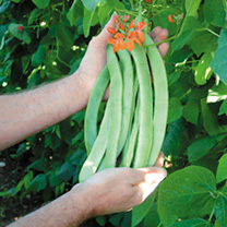 Runner Bean Seeds - Enorma