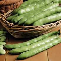 Broad Bean Seeds -  Aquadulce Claudia