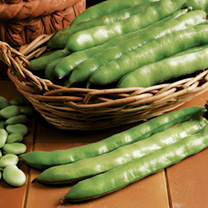 Broad Bean Aquadulce Claudia  ORGANIC SEEDS
