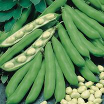 Bean (Broad) Plants - Statissa