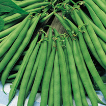 Bean (French Dwarf) Plants - Eclarel