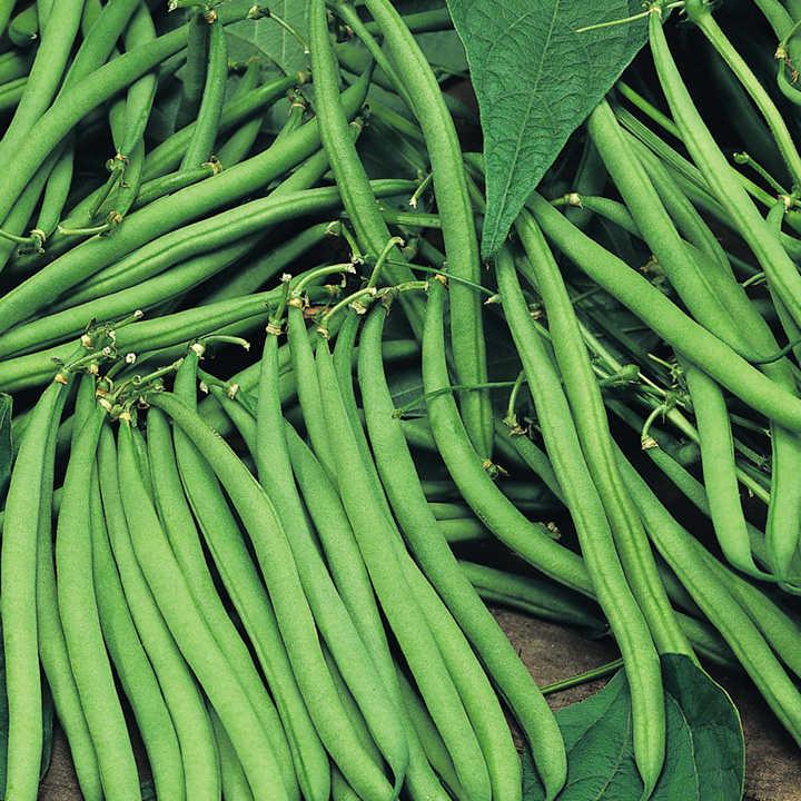 Bean (Climbing French) Plants - Cobra