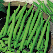 Climbing French Bean Seeds - Blue Lake