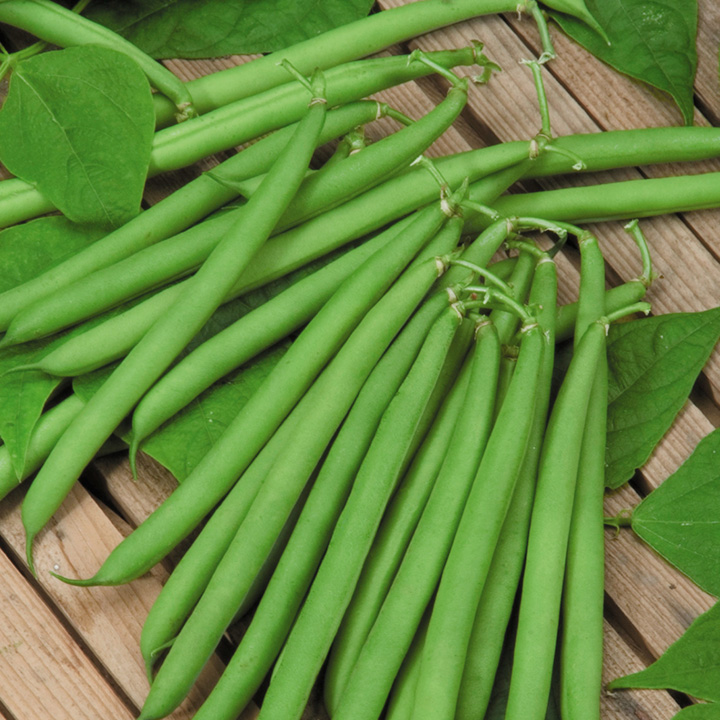 Dwarf French Bean Canzone Seeds
