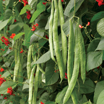 Runner Bean Scarlet Emperor Seeds