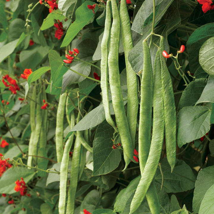 Runner Bean Seeds - Scarlet Emperor