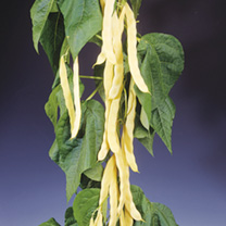 Climbing French Bean Golden Gate Seeds