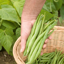 Dwarf French Bean Seeds - Tendergreen