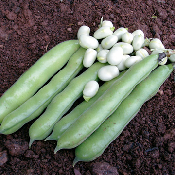 Broad Bean Seeds - Danko