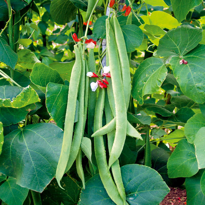 Runner Bean Seeds - St George