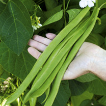 Runner Bean Seeds - Moonlight