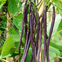Bean (Climbing French) Plants - Carminat