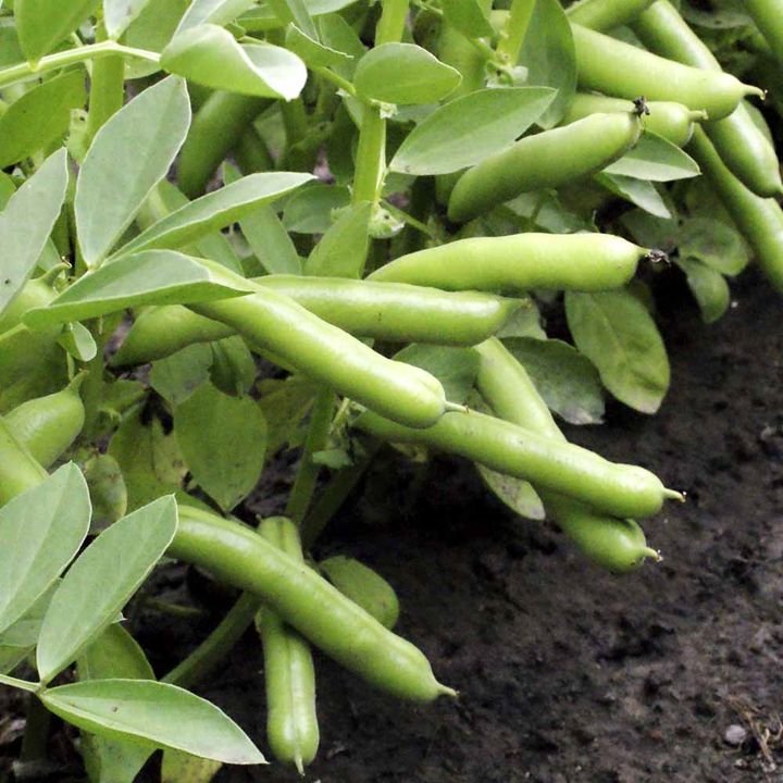 Broad Bean Seeds - De Monica