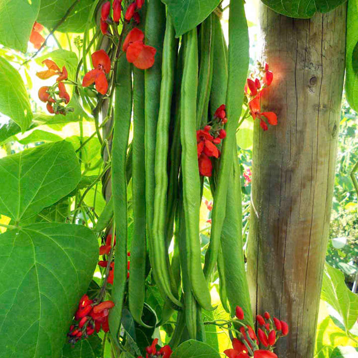 Runner Bean Seeds - Firestorm
