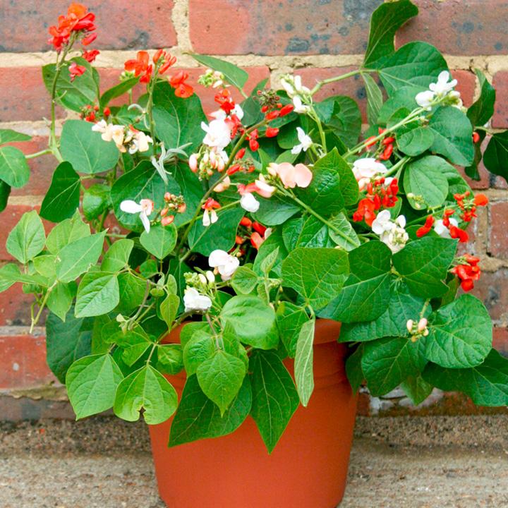 Bean (Dwarf Runner) Plants - Jackpot Mix