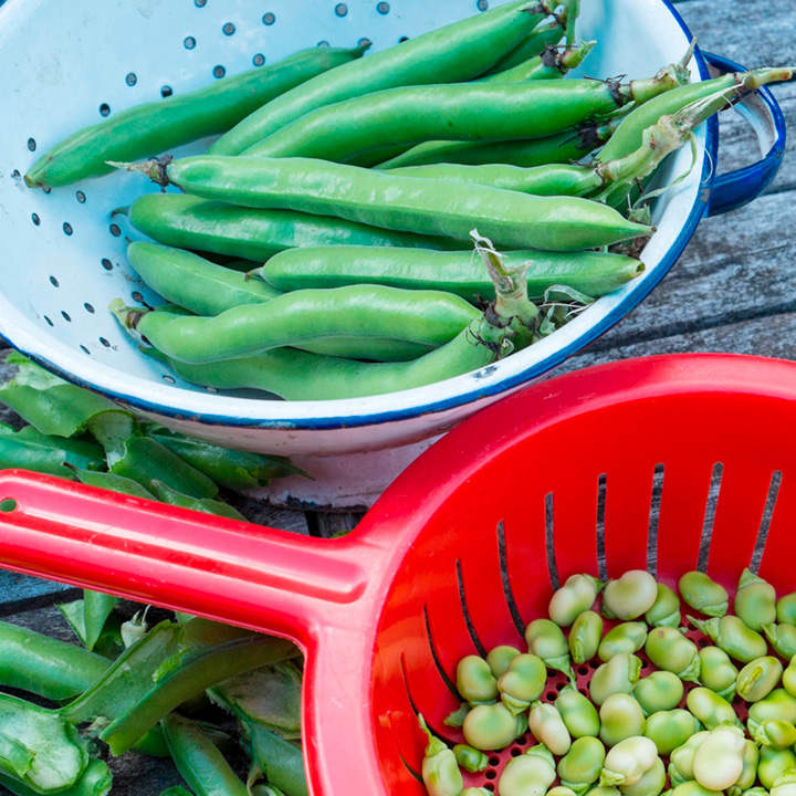 Bean (Broad) Plants - The Sutton