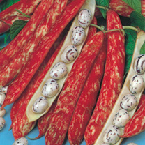 Dwarf French Bean Seeds - Borlotto Firetongue