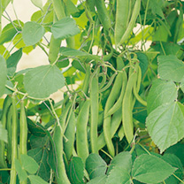Runner Bean Kelvedon Stringless Seeds