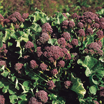 Broccoli (Sprouting) Seeds - Red Arrow