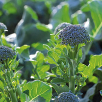 Broccoli (Sprouting) Plants - F1 Bellaverde Sibsey
