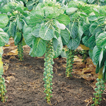 Brussels Sprout Seeds - Millennium F1