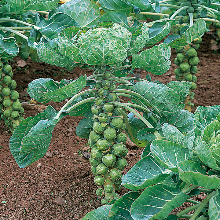 Brussels Sprout Seeds - Duo Pack
