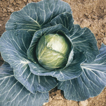 Cabbage Guardian F1 Seeds