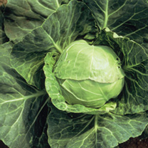 Cabbage Plants - Summer Continuity Duo Pack