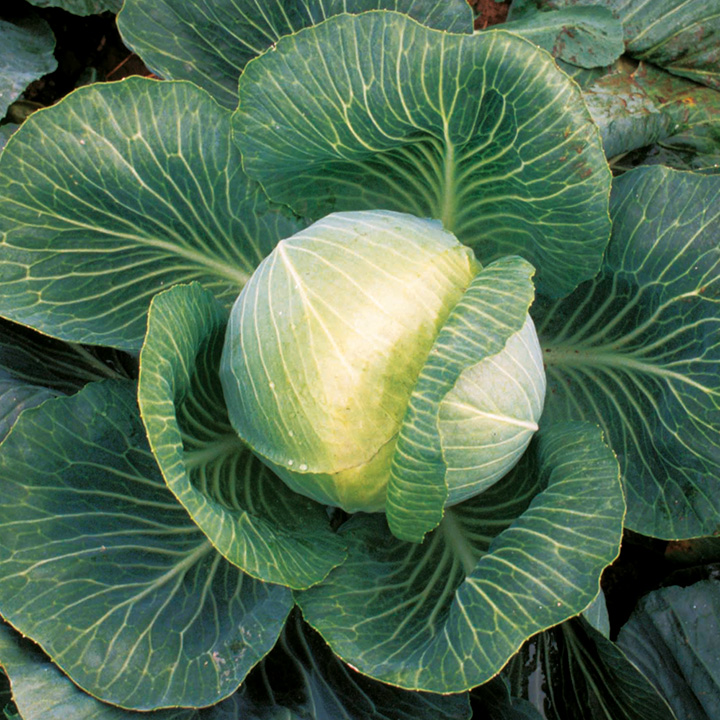 Cabbage Kilaxy F1 Seeds