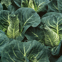 Cabbage Frostie F1 Seeds