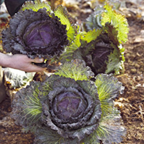 Cabbage Savoy Seeds - January King 3